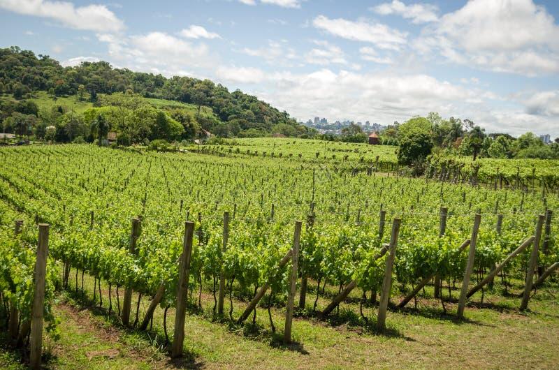 Vigna dell'uva nel DOS Vinhedos di Vale in bento Gonçalves, fotografia stock libera da diritti