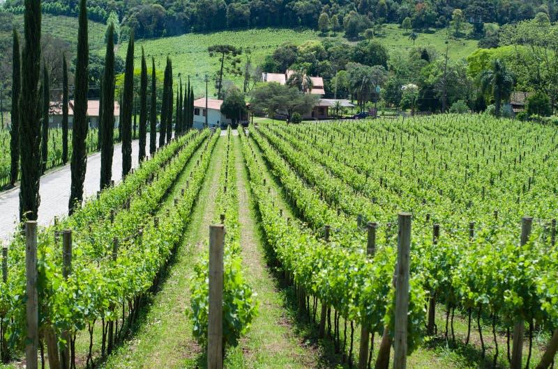 Vigna dell'uva nel DOS Vinhedos di Vale in bento Gonçalves, immagine stock libera da diritti