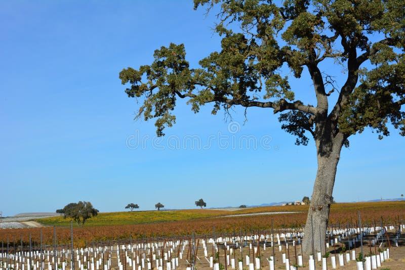 Vigna di caduta di Paso Robles con la quercia ed i colori stupefacenti di autunno fotografia stock