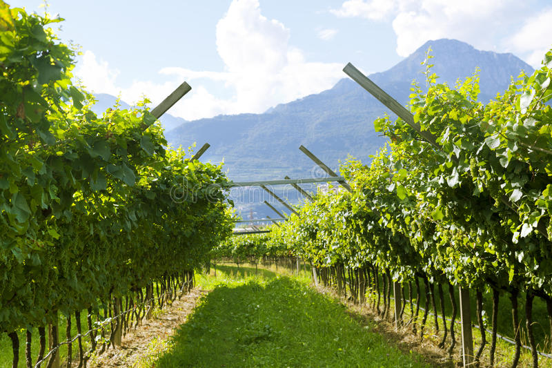 Vigna di Prosecco con le foglie soleggiate verdi e gialle in Valdobiaddene, Italia fotografia stock