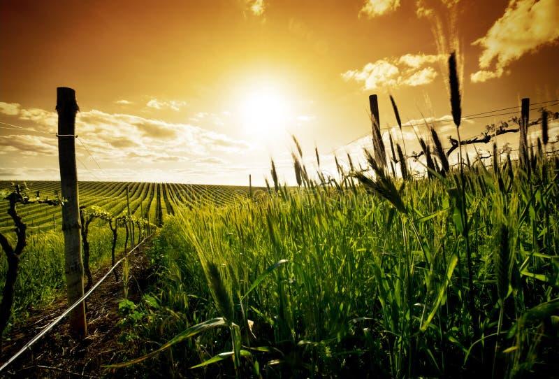 Vigna di tramonto fotografie stock