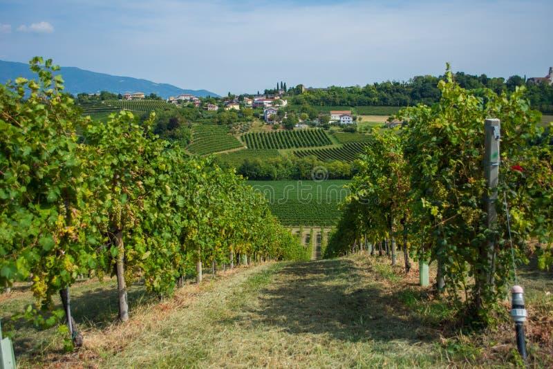 Vigna di Valdobbiadene, Veneto, Italia immagine stock libera da diritti