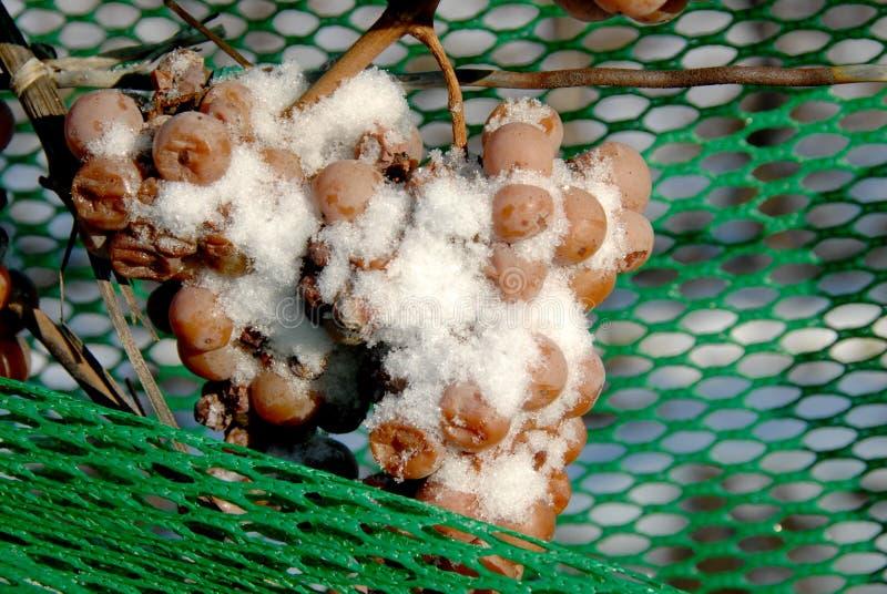 Vigna ed uva di Icewine fotografia stock