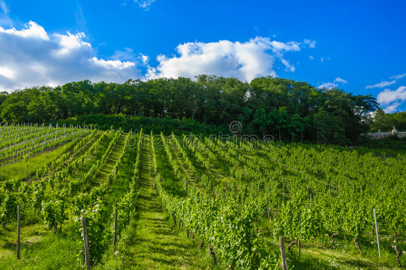 Vigna fresca verde vicino a Ruedesheim, Renania fotografie stock libere da diritti