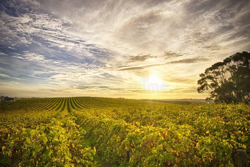 Vigna in McLaren Vale, Australia Meridionale immagini stock libere da diritti