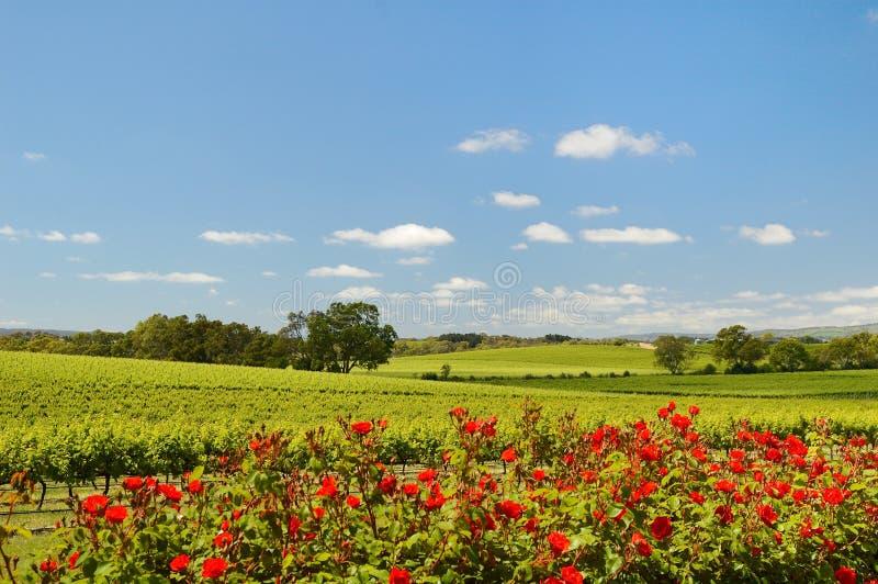 Vigna in McLaren Vale con le rose fotografia stock