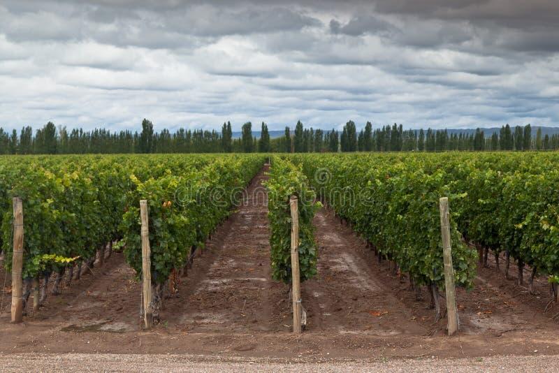 Vigna in Mendoza Argentina fotografia stock