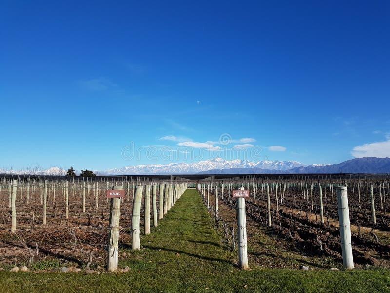 Vigna in Mendoza, fondo di Aconcagua fotografia stock libera da diritti
