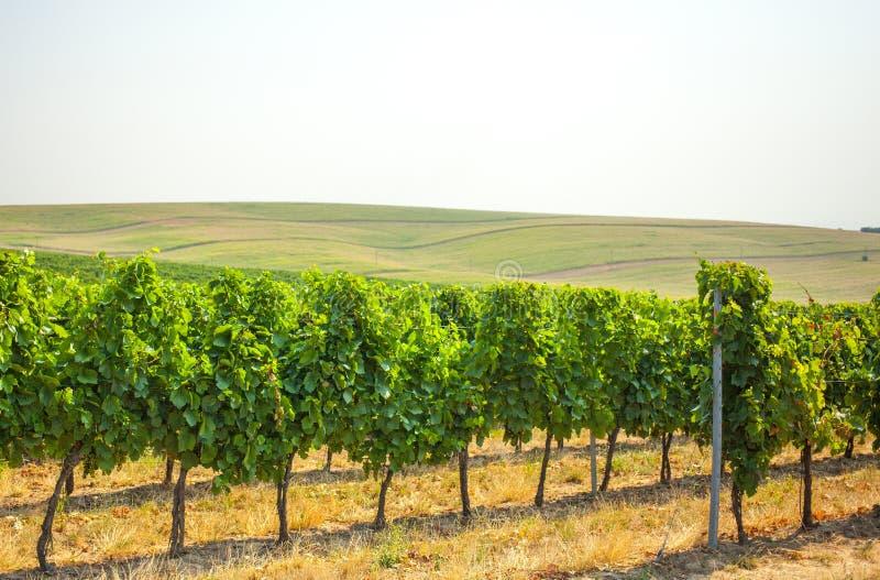 Vigna nella regione del sud della Moravia fotografia stock