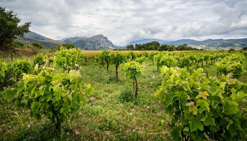 Vigna nelle colline di Creta fotografia stock
