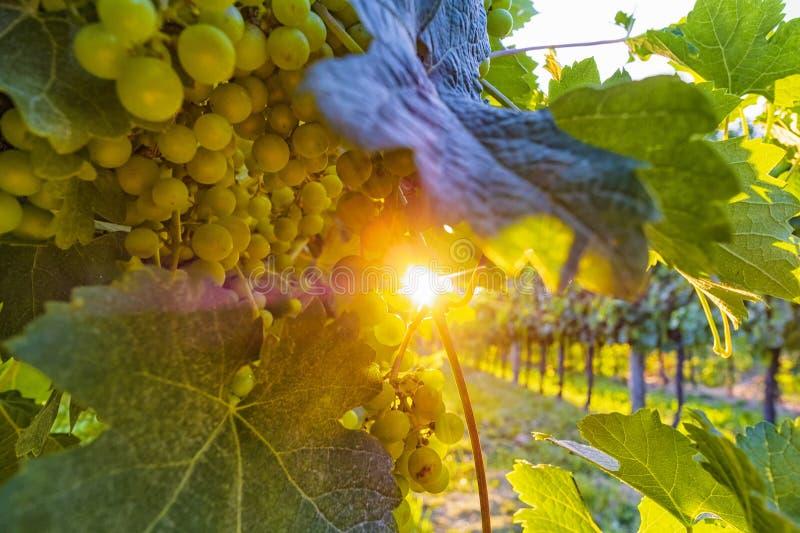 Vigna soleggiata con l'uva matura ed il sole brillante fotografia stock libera da diritti