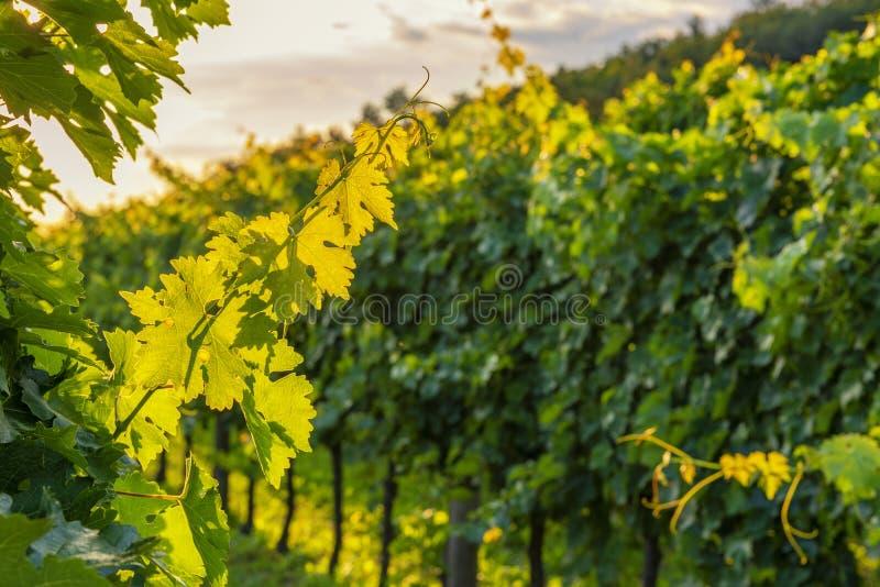 Vigna soleggiata in valle di Vipava fotografie stock