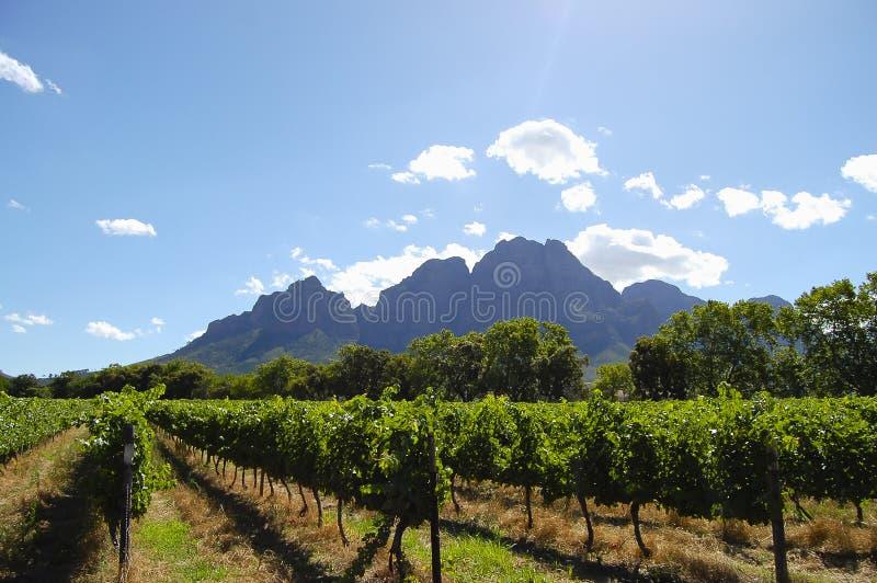 Vigna - Stellenbosch - Sudafrica fotografia stock libera da diritti
