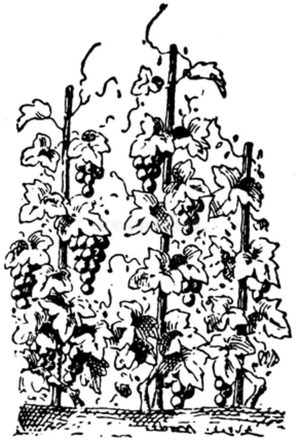 Vigne-001 Free Public Domain Cc0 Image