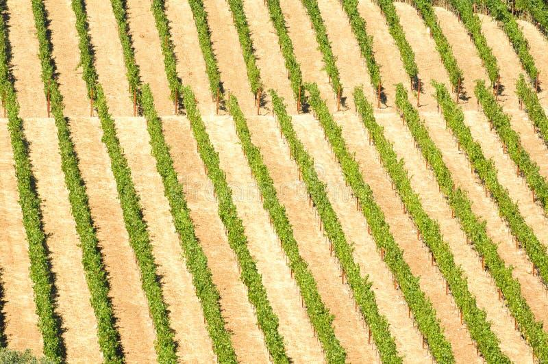 Download Vigne immagine stock. Immagine di vigna, agricoltura - 30826025