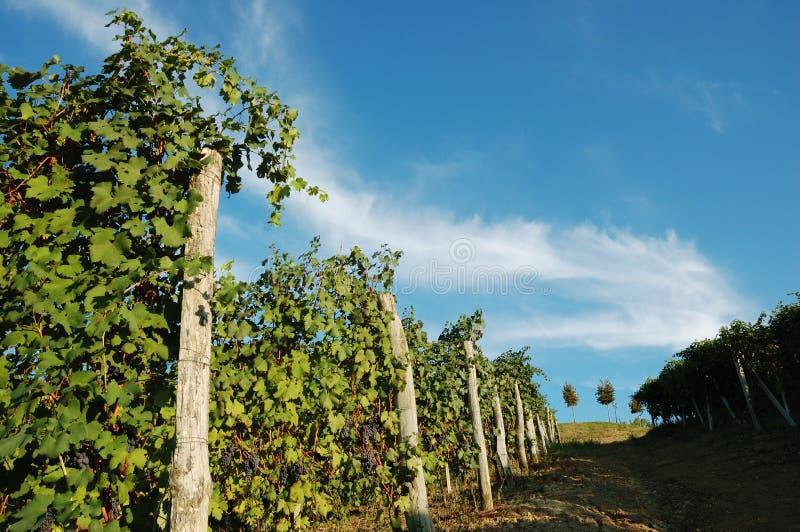 Download Vigne fotografia stock. Immagine di paesaggio, estate - 3889310
