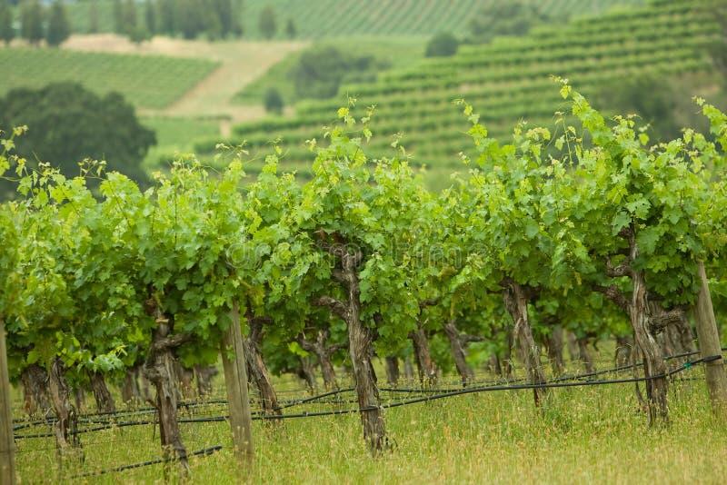 Vigne photographie stock