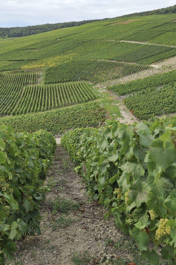 Vigne accidentée #3 de Champagne, epernay photos stock