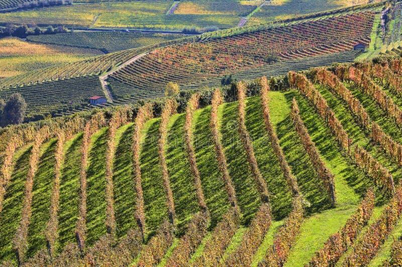 Vigne alla caduta. Piemonte, Italia. fotografia stock libera da diritti