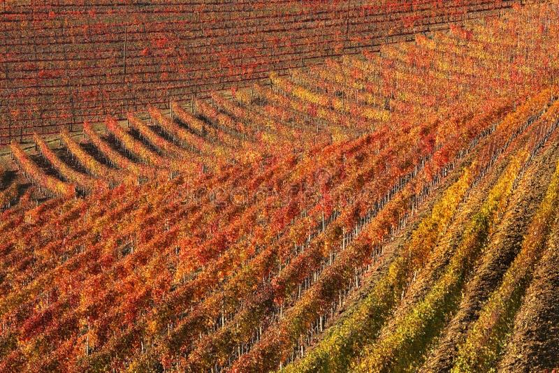 Vigne alla caduta. Piemonte, Italia del Nord. fotografia stock libera da diritti