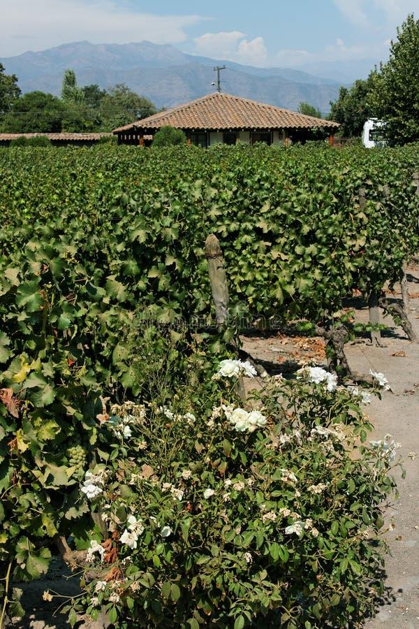 Vigne au Chili photographie stock