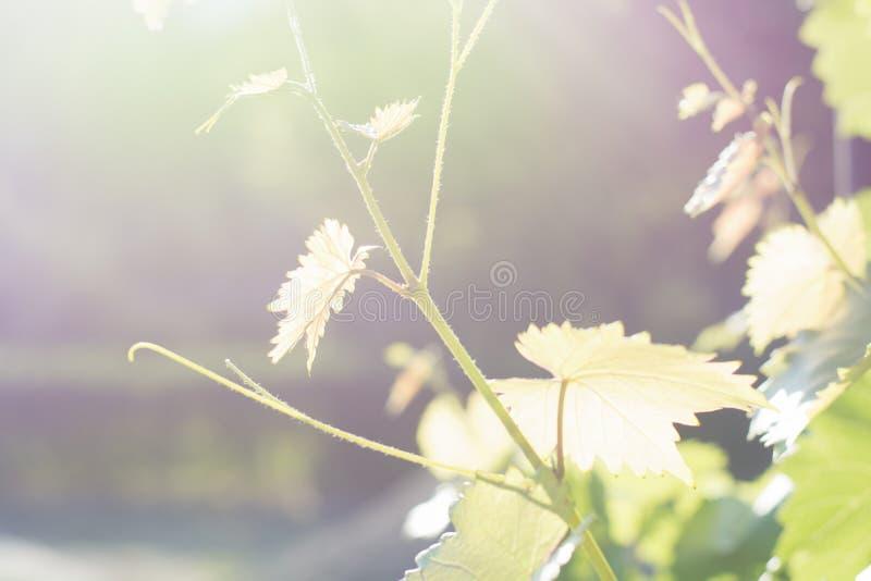 vigne Automne Feuilles de récolte allumées par le soleil Lumière molle sur la photo image stock