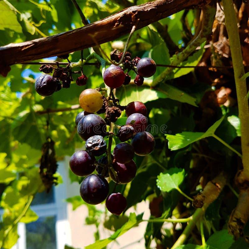 Vigne avec des raisins trop mûrs images stock