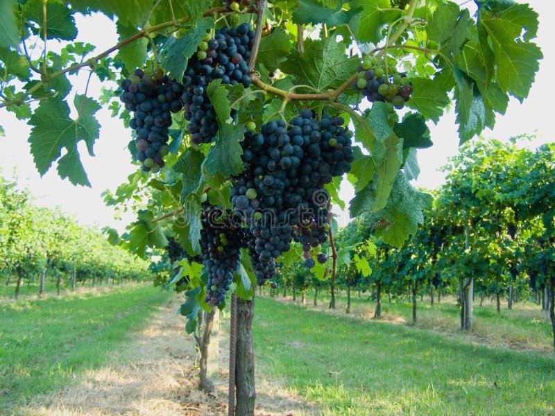 Vigne bleue de raisins images libres de droits