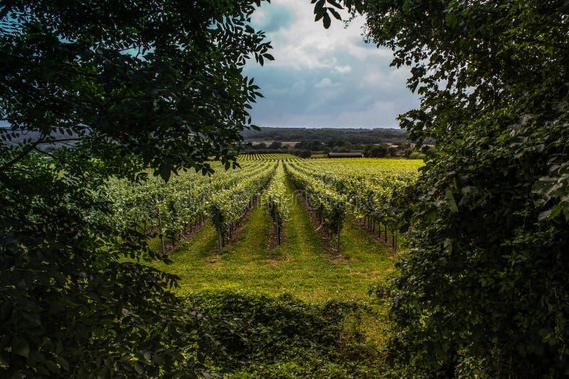 Vigne britanniche Surrey - Risonanza fotografia stock libera da diritti