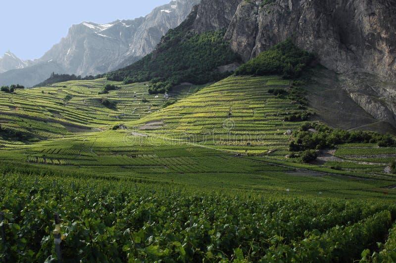 Vigne a Chomoson in Svizzera fotografia stock