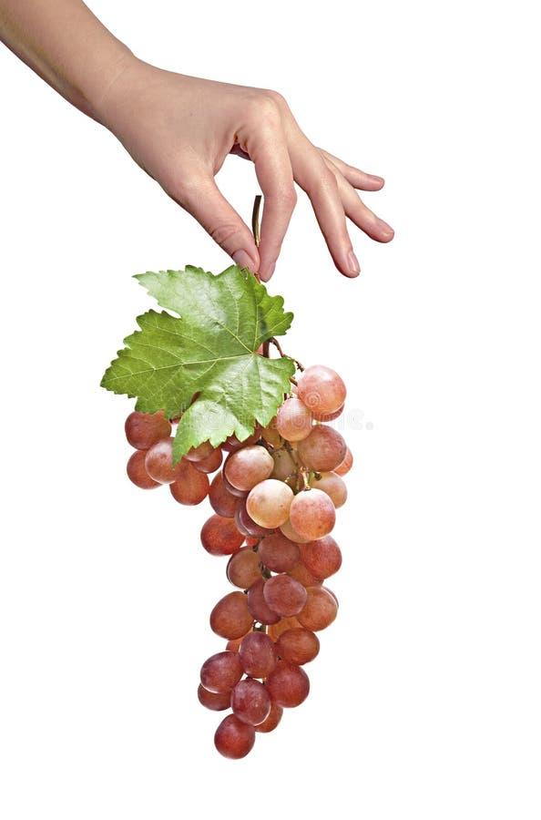 Vigne comme cadeau d'agriculture image stock