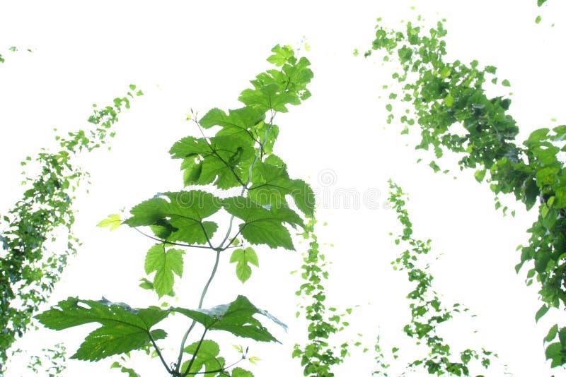 Vigne d'houblon photographie stock
