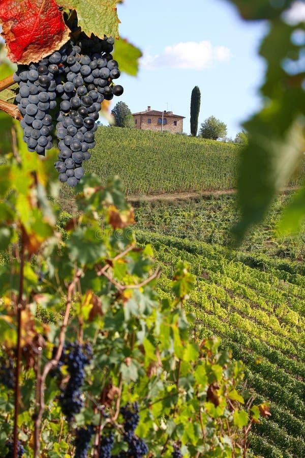 Vigne dans Chianti, Toscane image libre de droits