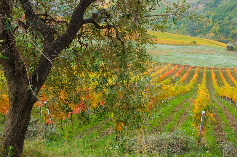 Download Vigne dans l'automne photo stock. Image du raisins, vallée - 77157132