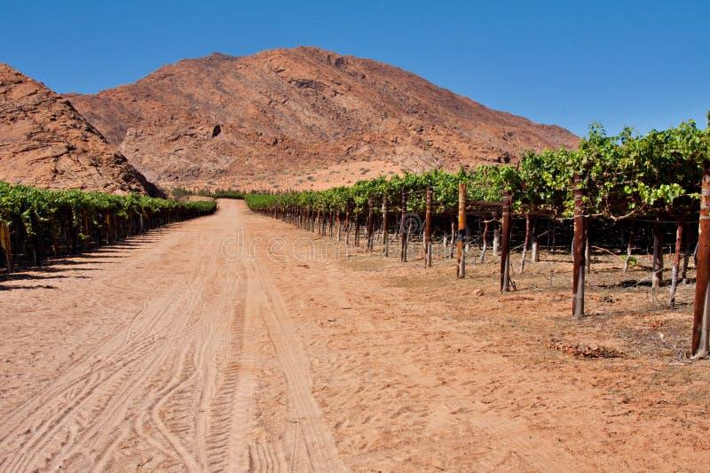 Vigne dans le désert photo stock