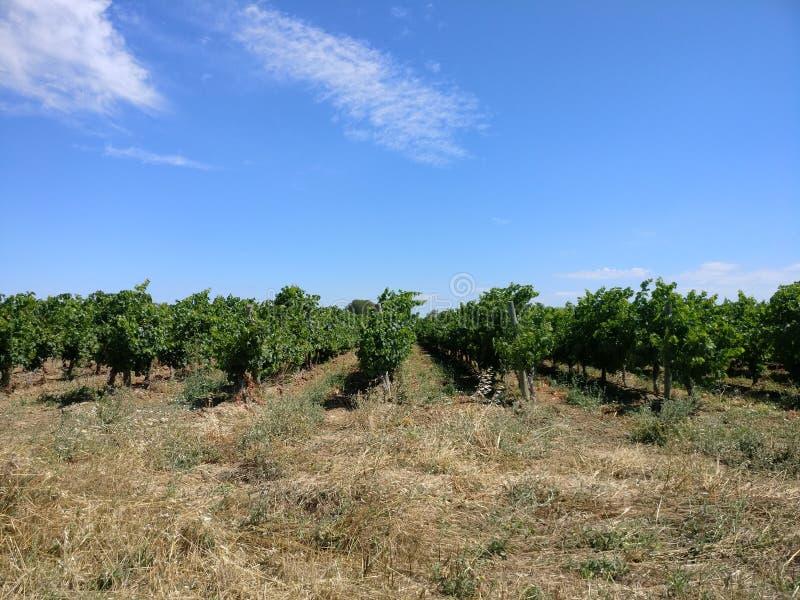 Vigne dans le sud de la France photos stock