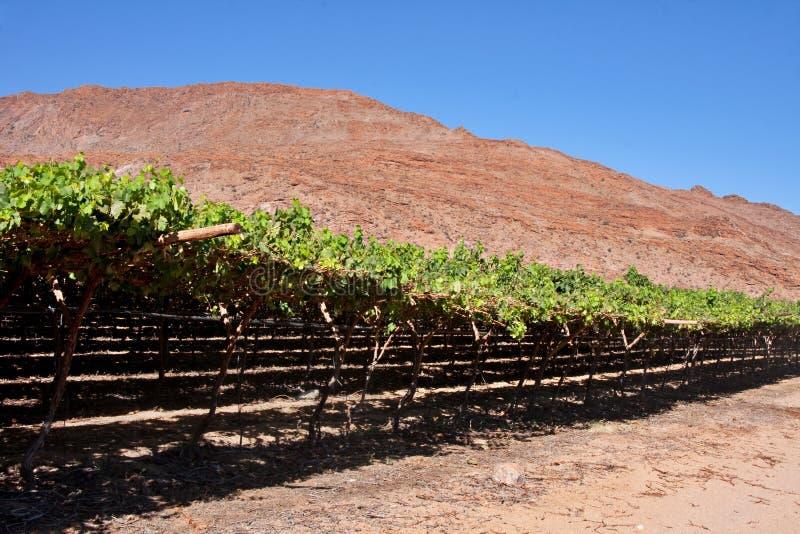 Vigne de désert photo stock