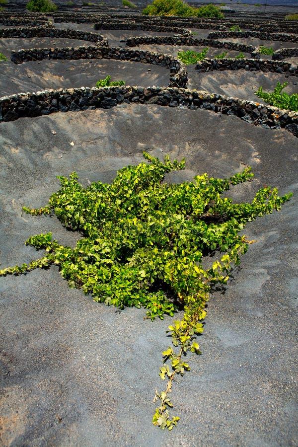 Vigne de Geria de La de Lanzarote sur la saleté volcanique noire photo libre de droits