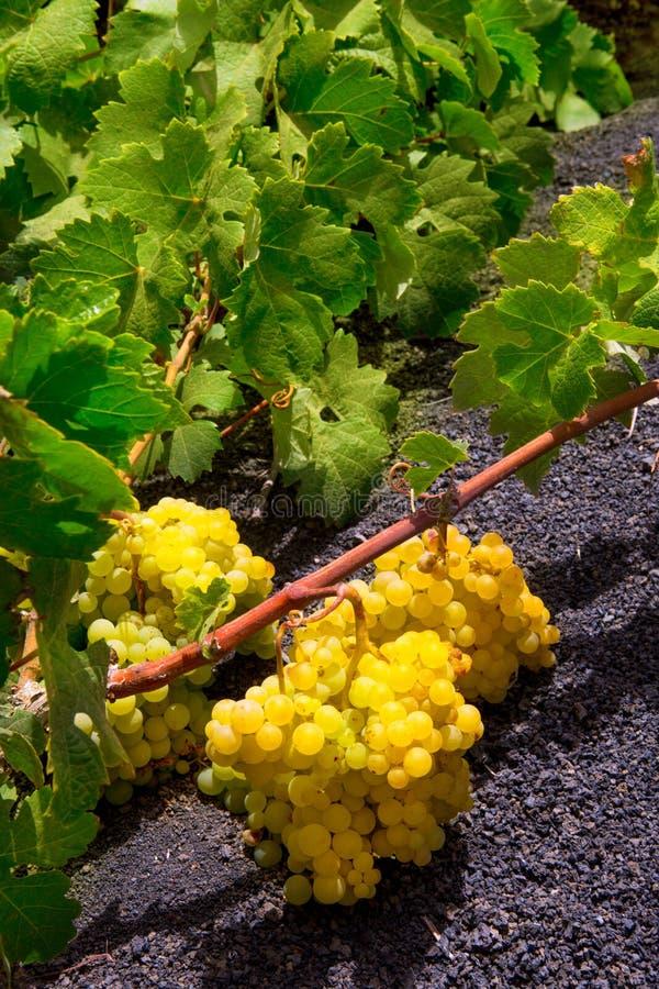 Vigne de Geria de La de Lanzarote sur la saleté volcanique noire photo stock