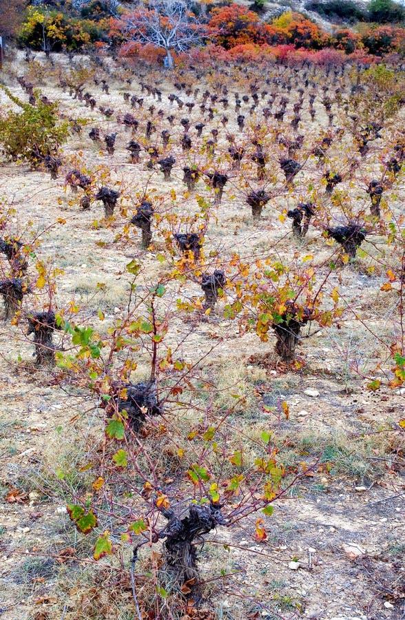 Vigne de l'hiver dans le lophou, Chypre image stock