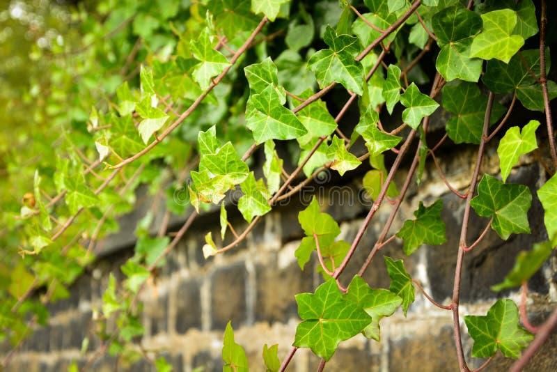 Vigne de lierre sur le mur photo stock