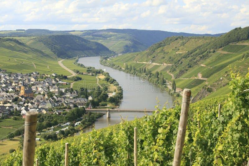 Vigne de Riesling sur la Moselle images libres de droits