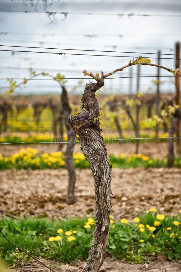 Vigne de Trellised poussant ses feuilles fraîches de ressort photos libres de droits