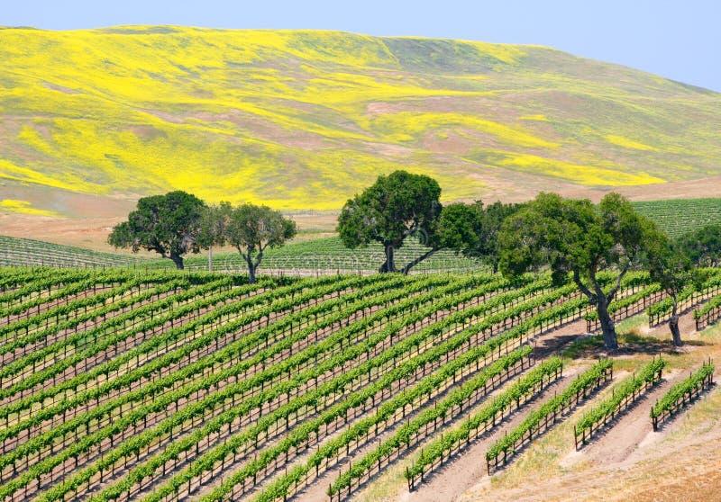 Vigne de vin photographie stock