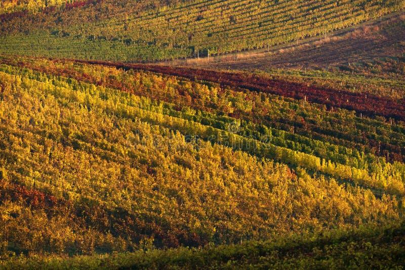 Vigne dell'uva di Autumn Morning Landscape With Colorful della repubblica Ceca File delle viti della vigna Europeo Autumn Grape V immagini stock