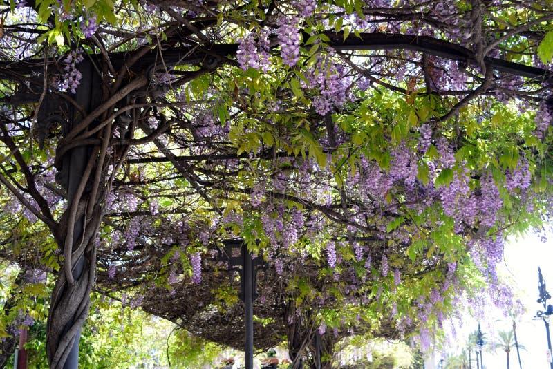 Vigne des lilas accrochant dans un arrêt d'autobus photos stock