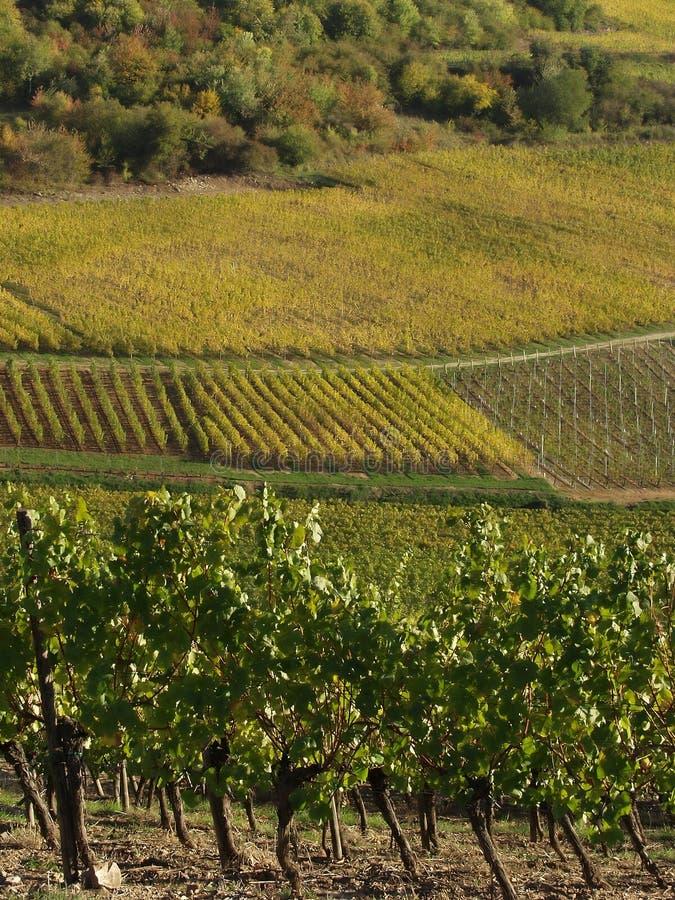 Vigne di Alsacian immagini stock