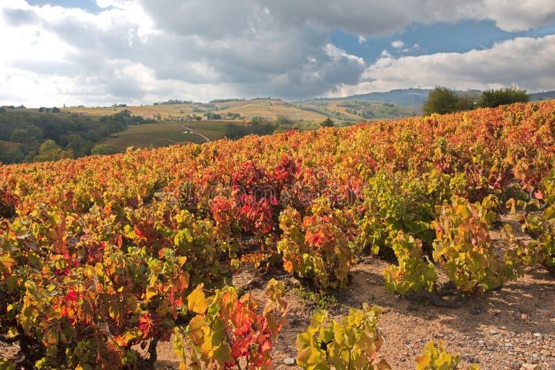 Vigne di autunno in Beaujolais Francia fotografia stock