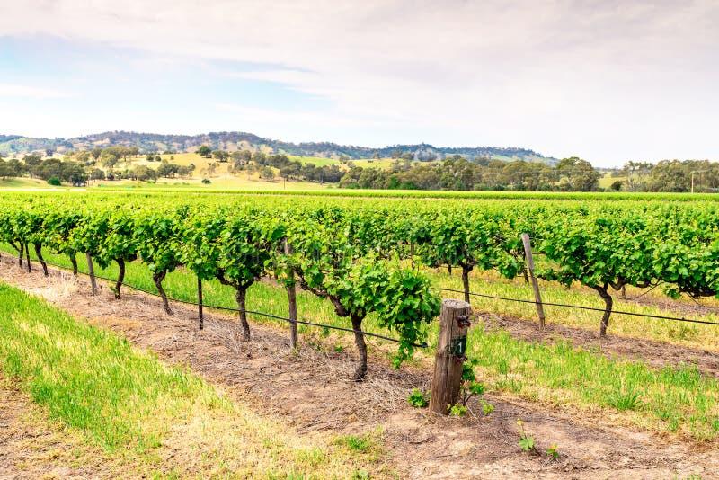 Vigne di Barossa Valley, Australia Meridionale immagine stock libera da diritti