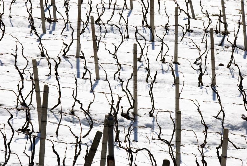 Vigne di inverno fotografia stock libera da diritti